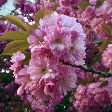 flowers-blossoms-tree-pink
