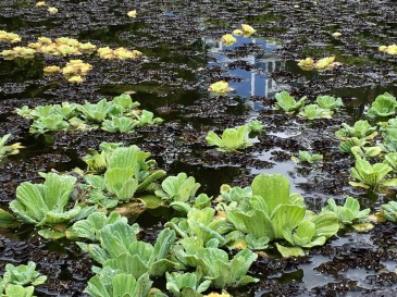 water-lilies-pond