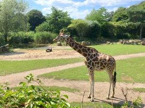 Giraffe at the Leipzig Zoo